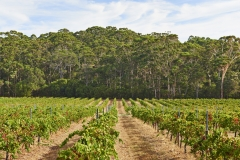 Leeuwin Estate Vineyard Overlooking Karri Forest