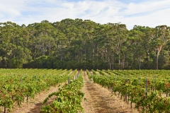 Leeuwin Estate Vineyard Overlooking Karri Forest